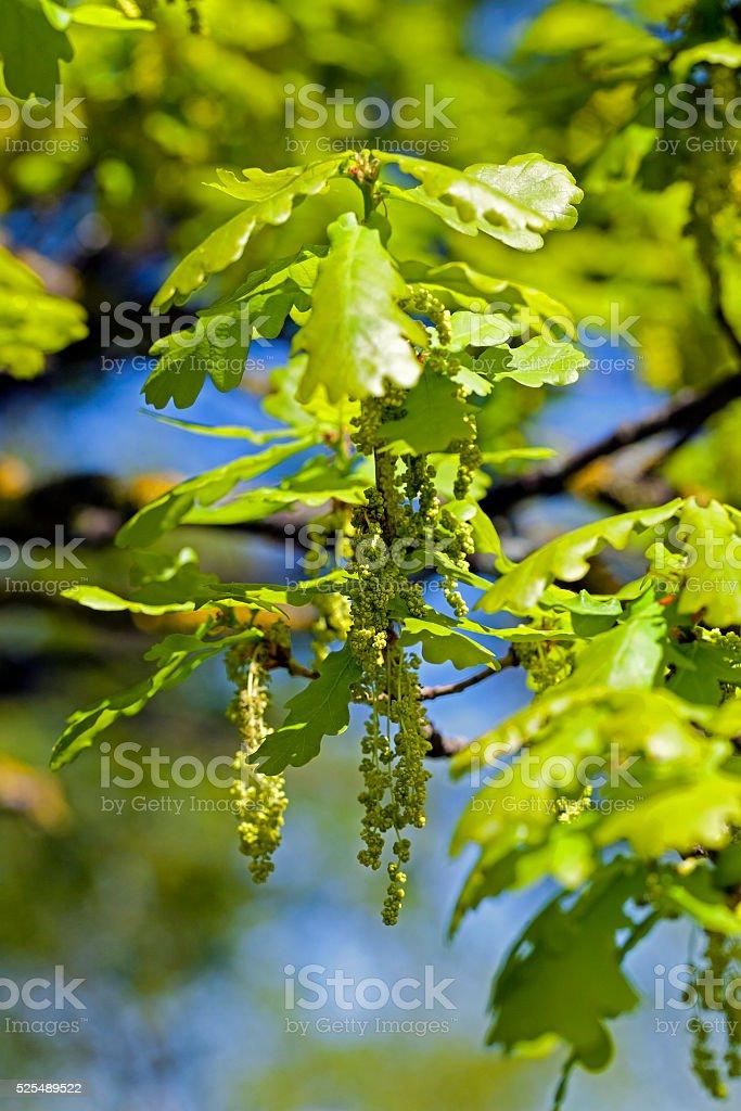 Flower closeup oak stock photo
