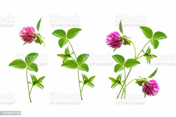 Flower clover isolated on white background picture id1046442126?b=1&k=6&m=1046442126&s=612x612&h=mevehbj r3dhcd7z uj9jhe80fvw3ec0wbgmlku8fvm=