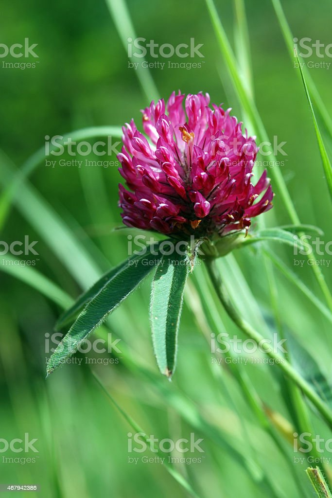 flower clovers stock photo