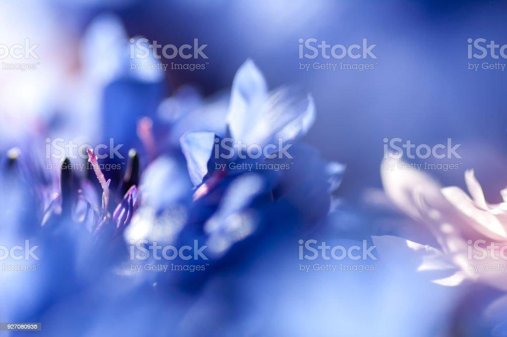 Fleur bleuet closeup, flou, fond - Photo