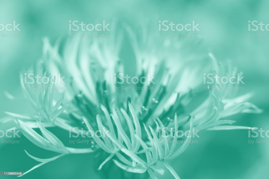 Flower cornflower gentle in pastel colors on plain background with soft focus macro, natural, turquoise stock photo