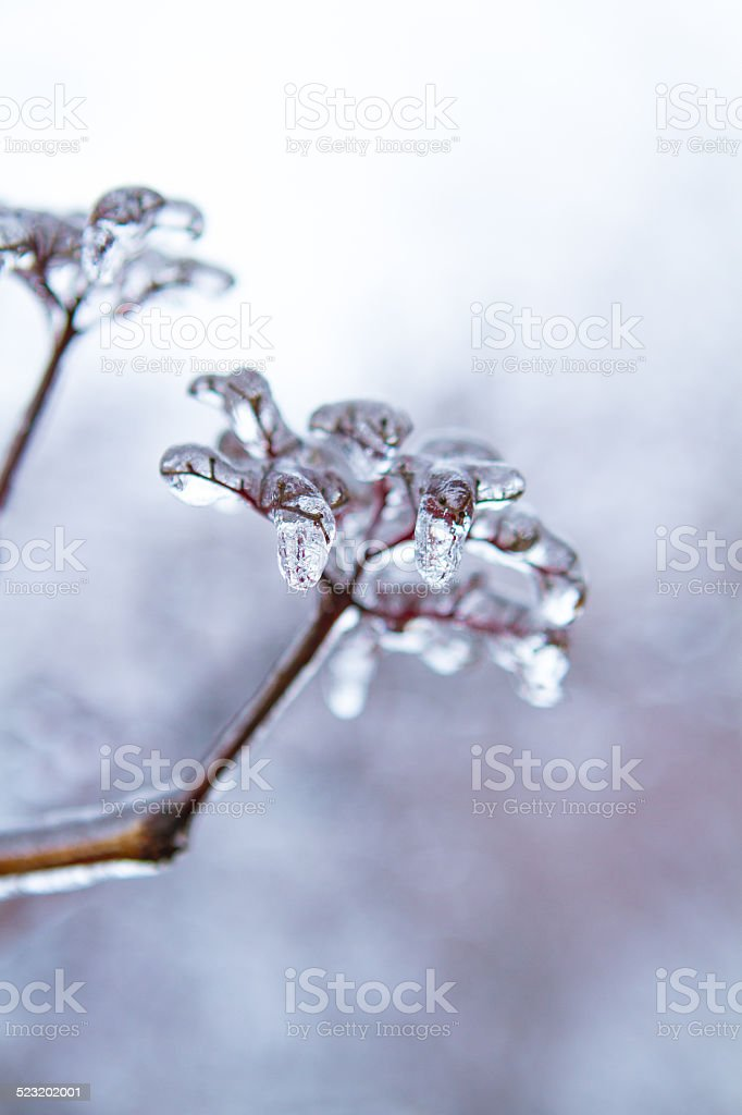 Flower Covered in Ice stock photo