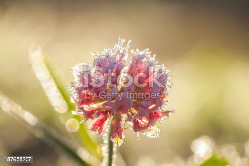 639394370istockphoto flower covered with hoarfrost 187658207