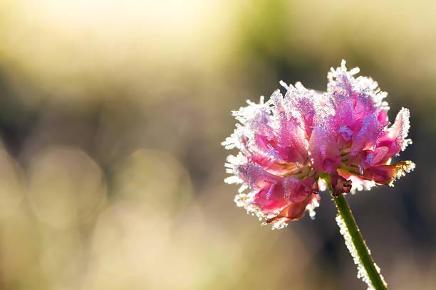 цветок покрытые hoarfrost - иней замёрзшая вода стоковые фото и изображения