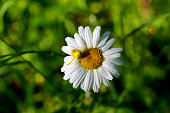 Flower crab spider sits on a chamomile, crab spiders of the genus Misumena (lat. Thomisidae).