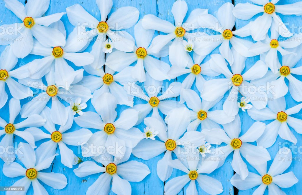 Flower. Daffodil. Spring flowers. Narcissus on blue wooden background. Bouquet of White Daffodils. Vintage Floral background. Greeting for Womens, Mothers Day, Valentine's day. stock photo