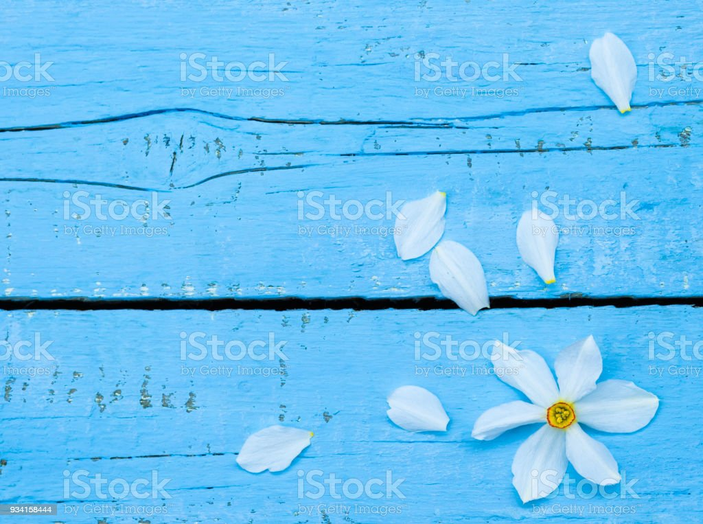 Flower. Daffodil. Spring flowers. Narcissus on blue wooden background. Vintage Floral background. Greeting for Womens, Mothers Day, Valentine's day. Copy space stock photo