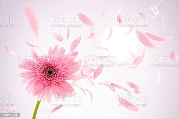 Flower daisy picture id510202631?b=1&k=6&m=510202631&s=612x612&h=idte19tqib1lg41aaenv8u5u 7zhhzoqpotuv9wfh a=