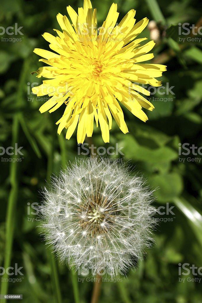 Flower dandelion royalty-free stock photo