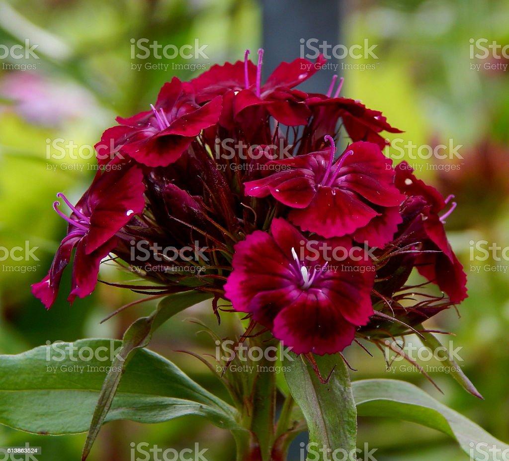 Flower Dianthus barbatus stock photo