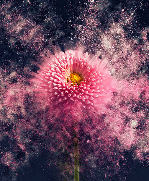Flower - disintegrating A flower breaking apart. slow motion stock pictures, royalty-free photos & images