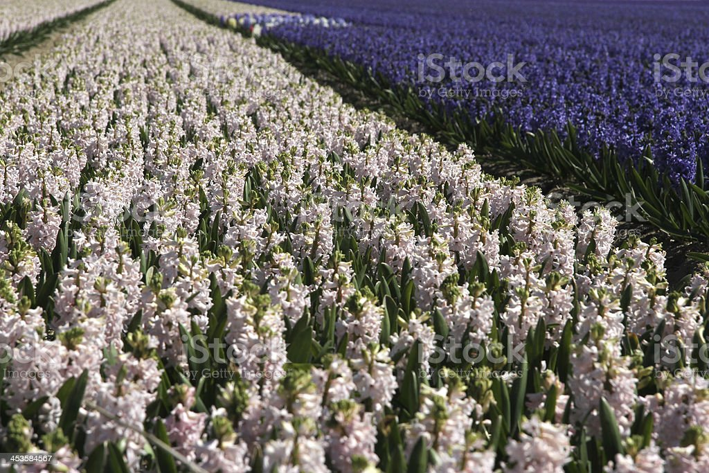 Flower field at Keukenhof gardens in The Netherlands royalty-free stock photo