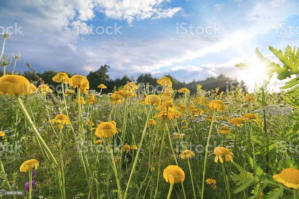 Flower Field at Sunset stock photo