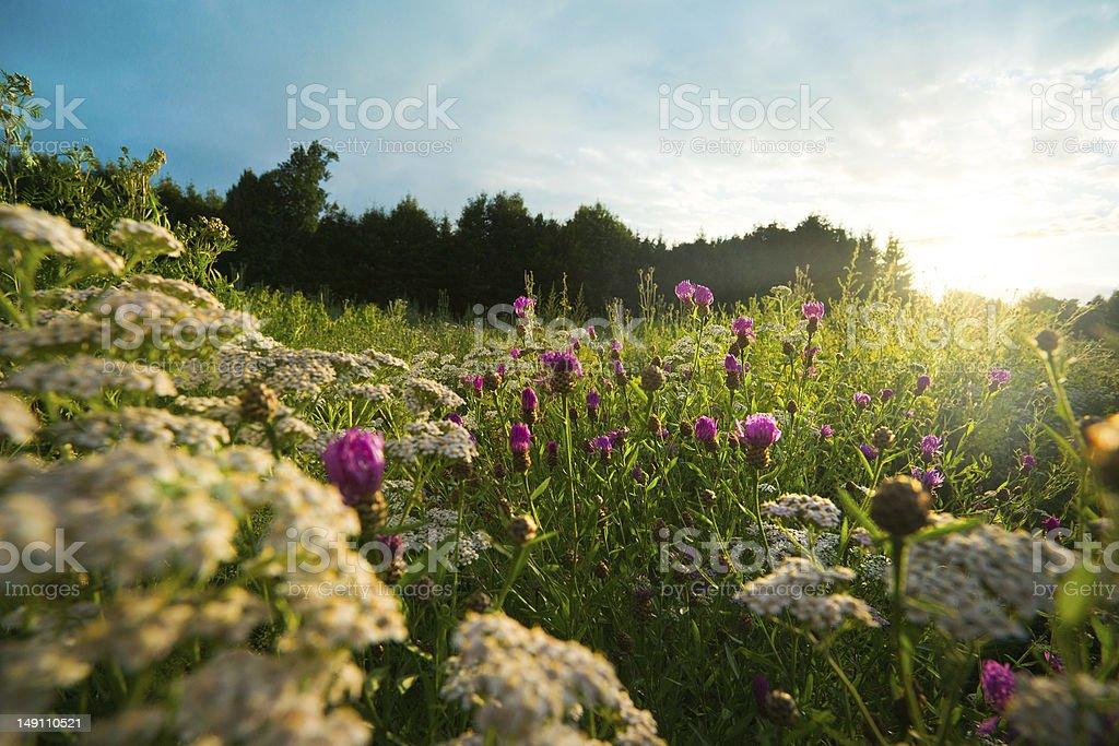 Flower Field at Sunset stock photo