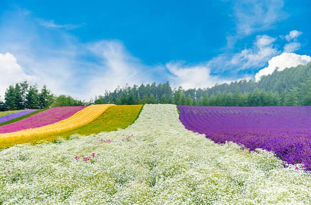 Flower field  in Hokkaido, Japan stock photo