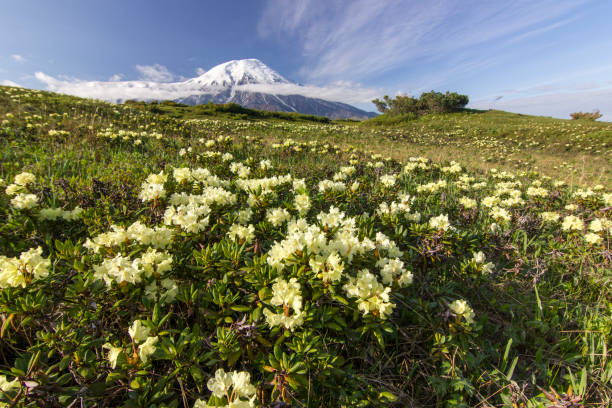 flower field near volcanoes of Kamchatka at sunrise field of rhododendron flowers near Tolbachik volcano of Kamchatka at sunrise kamchatka peninsula stock pictures, royalty-free photos & images