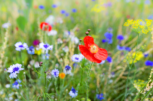 Flower field with wildflowers and native herbs, wildlife and insect habitat