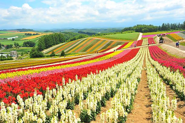 Flower Fields in Hokkaido, Japan stock photo