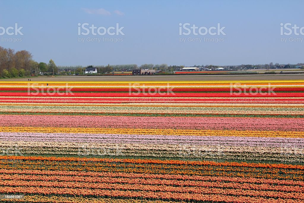 Flower fields -  Netherlands royalty-free stock photo