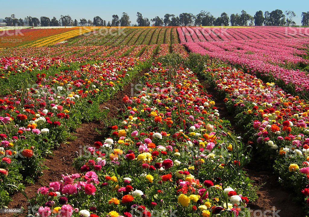 Flower fields royalty-free stock photo