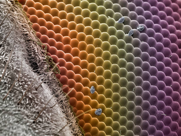 Flower fly eye, SEM stock photo