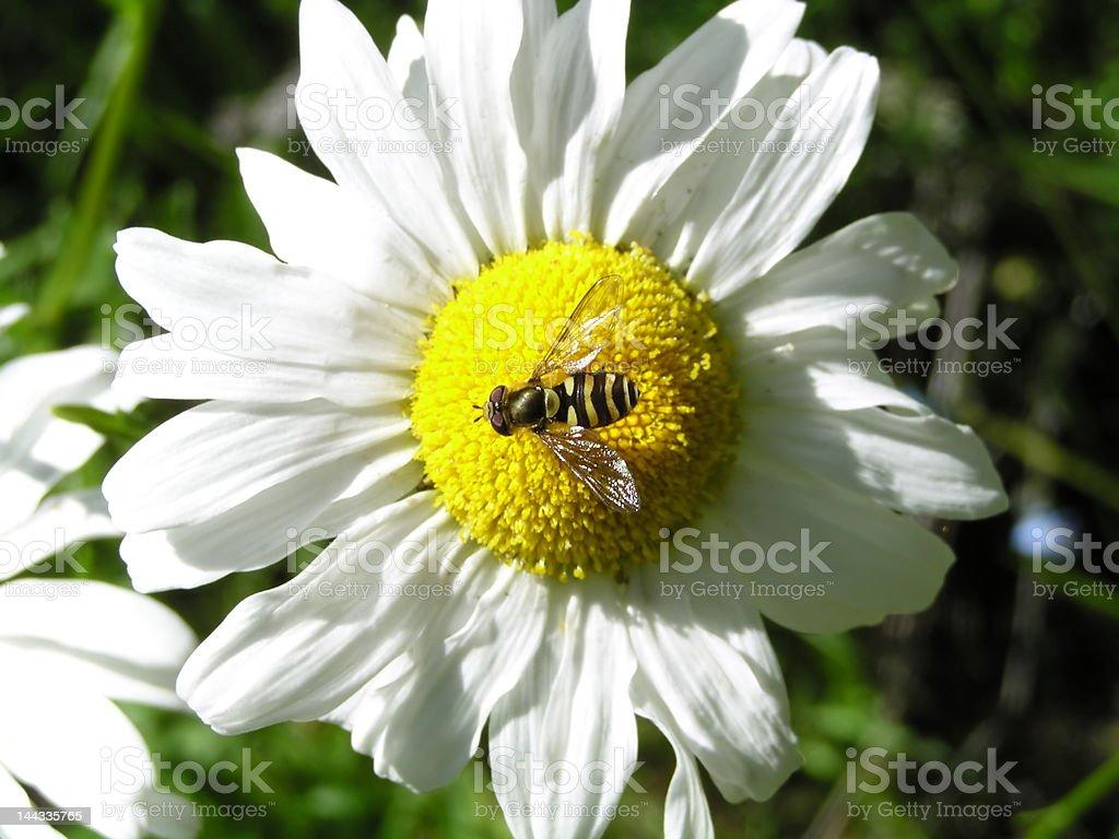 Flower Fly on a Daisy stock photo