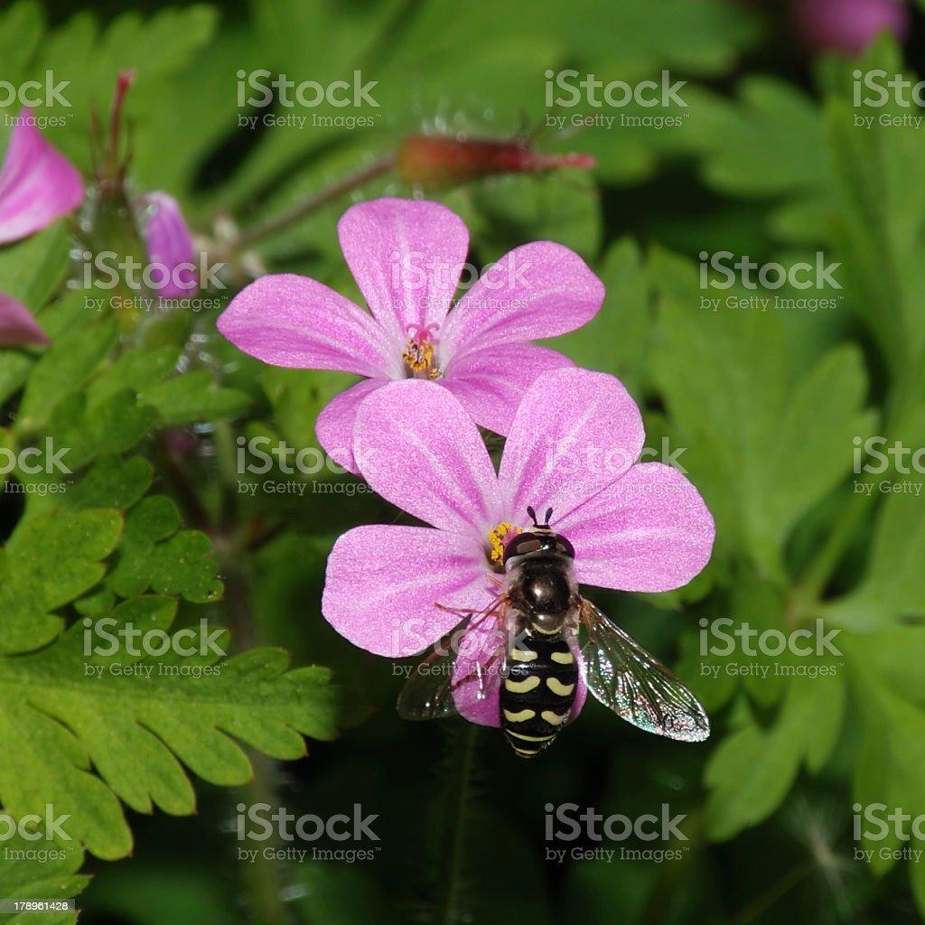 Flower Fly on Stinky Bob stock photo