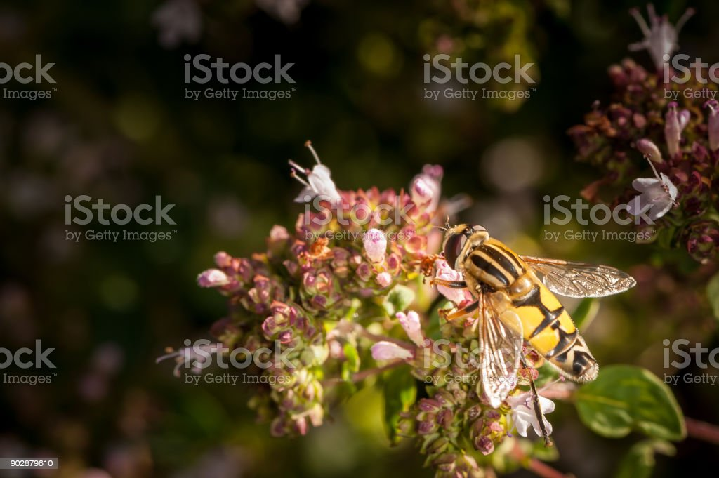 A flower fly visiting a marjoram plant stock photo