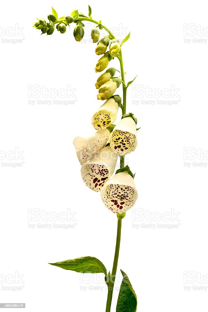 Flower foxglove, isolated on white background stock photo
