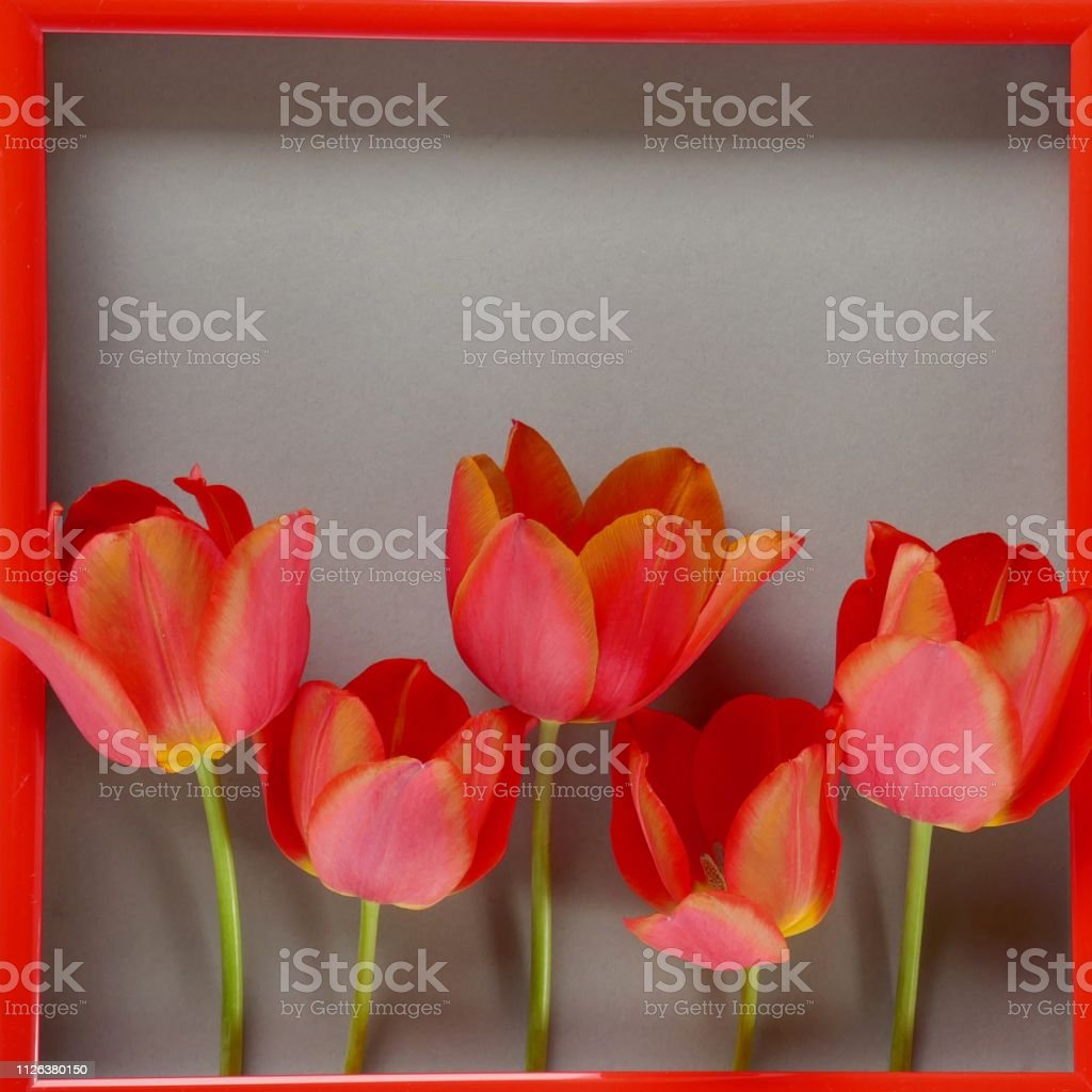 Flower frame. Flower card. red tulips in red frame on a gray...
