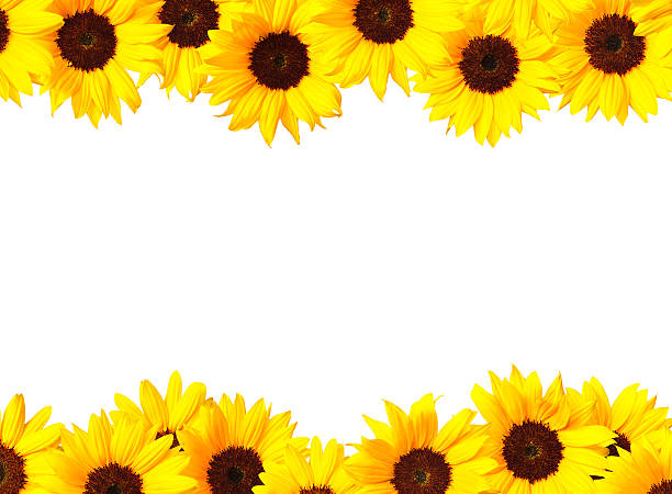 Best Sunflower Border Stock Photos Pictures Amp Royalty
