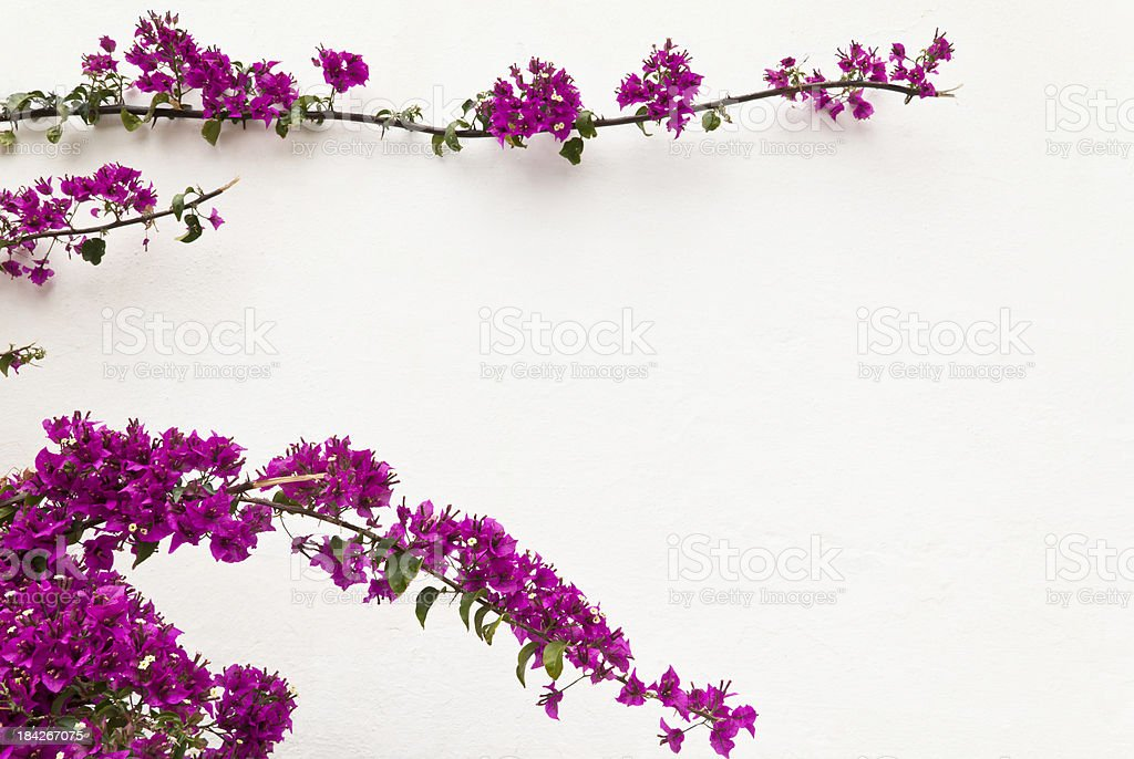 Kwiat Rama – zdjęcie