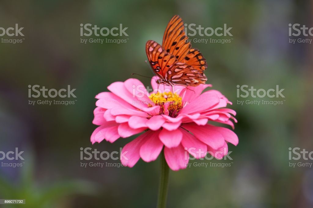 Flower garden macro beauty in nature pink zinnia with butterfly stock photo