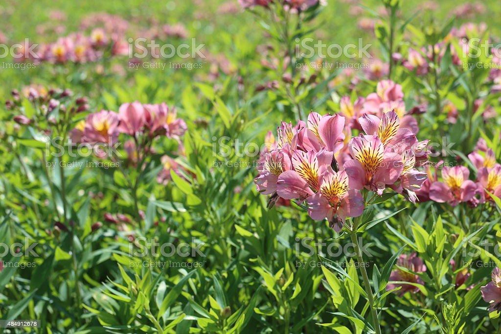Flower garden of alstroemeria stock photo