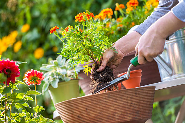 Flower garden Gardeners hand planting flowers in pot with dirt or soil potting stock pictures, royalty-free photos & images