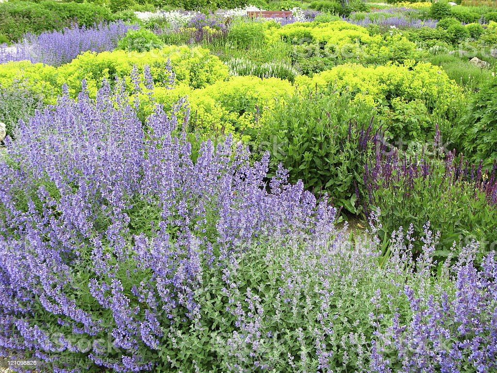 Flower garden with Sage royalty-free stock photo