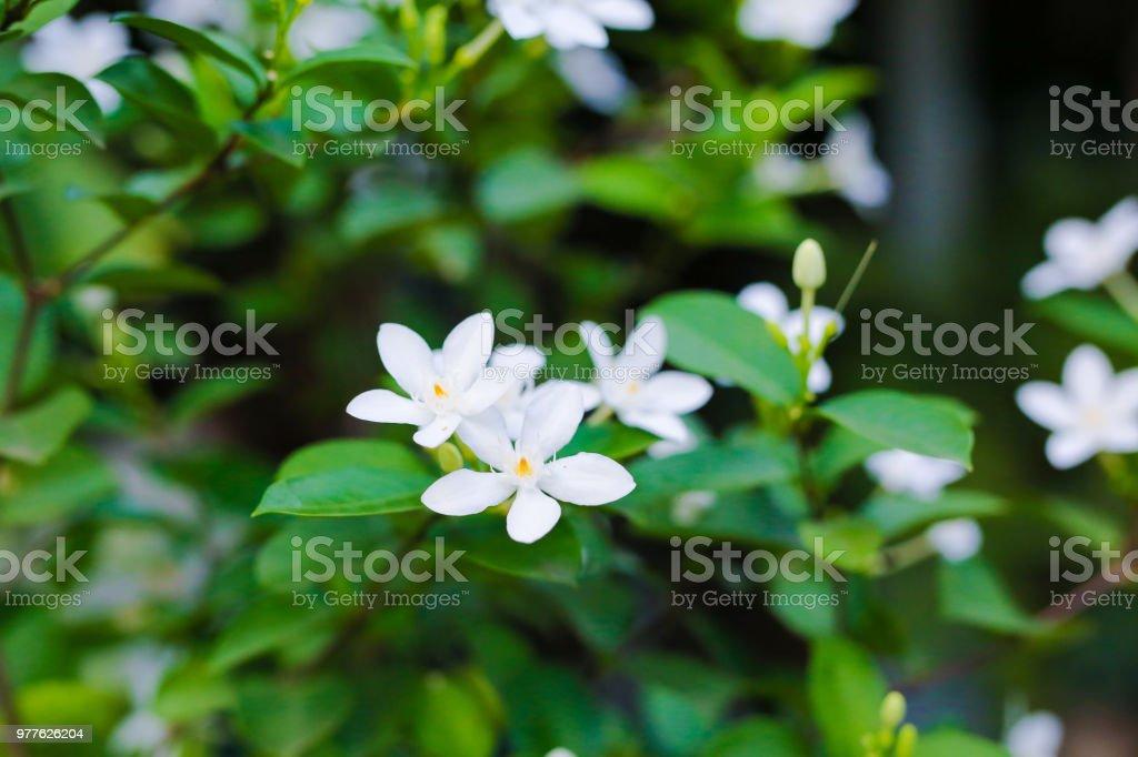 Flower Gardenia tree white color in garden.