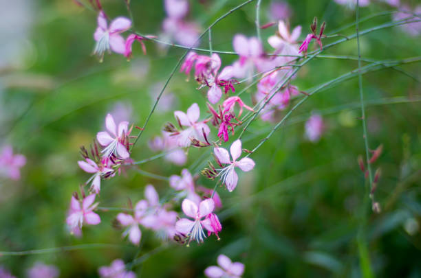 Flower Gaura Lindheimeri (Rosy Jane) stock photo