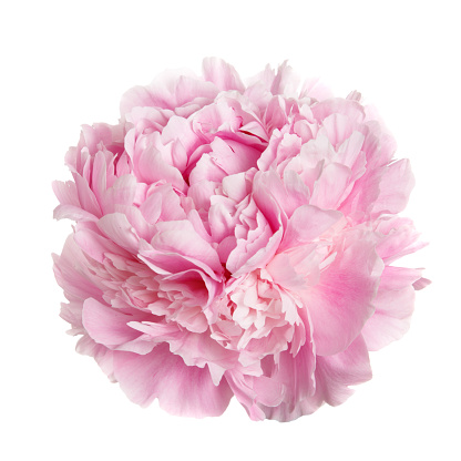 istock A flower gently pink peony. 857480326