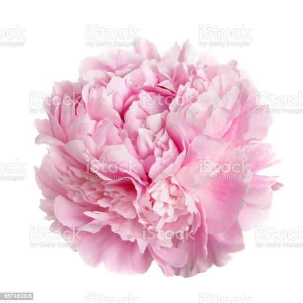 Flower gently pink peony picture id857480326?b=1&k=6&m=857480326&s=612x612&h=sdlabnidhn9vyvkuq6e4n4kgf4ecfvibnd2zpk8xoqa=