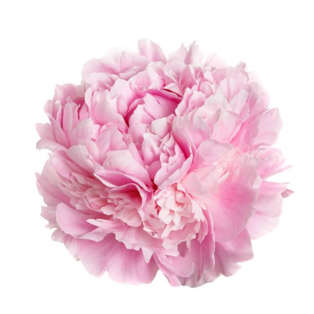 Uma peônia flor rosa suavemente. - foto de acervo