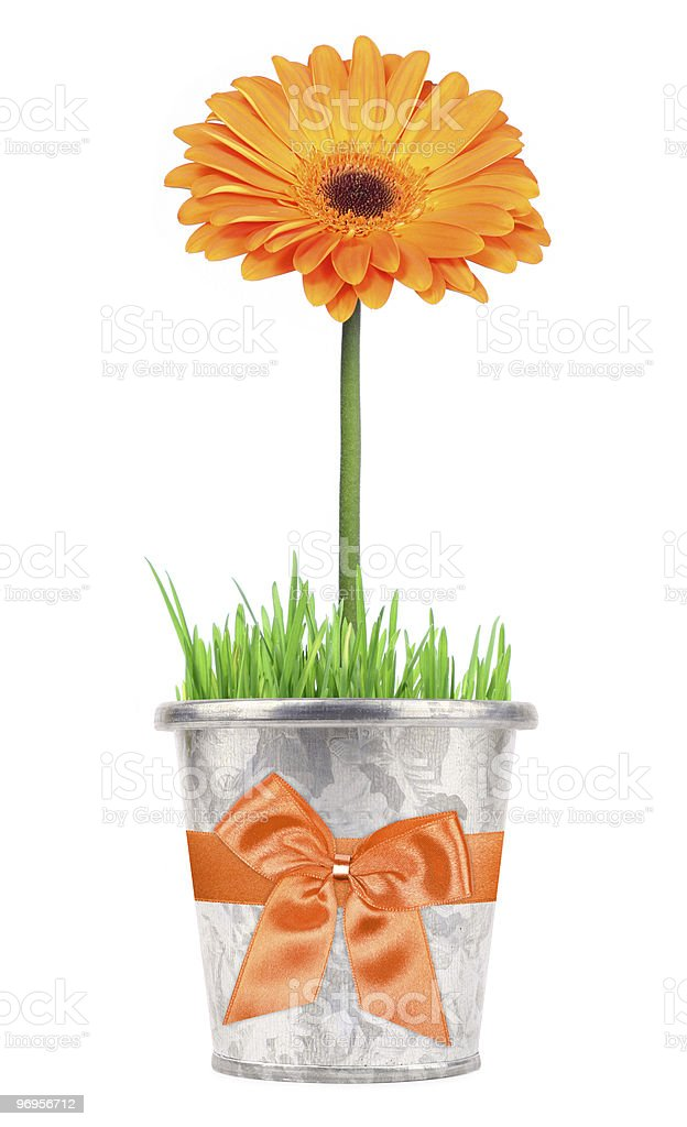 Flower gift in a pot stock photo