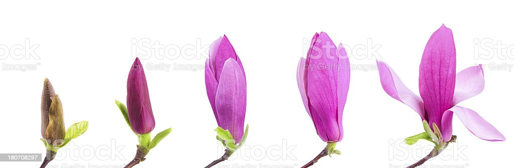 flower growth sequence isolate on white background:spring is coming stock photo