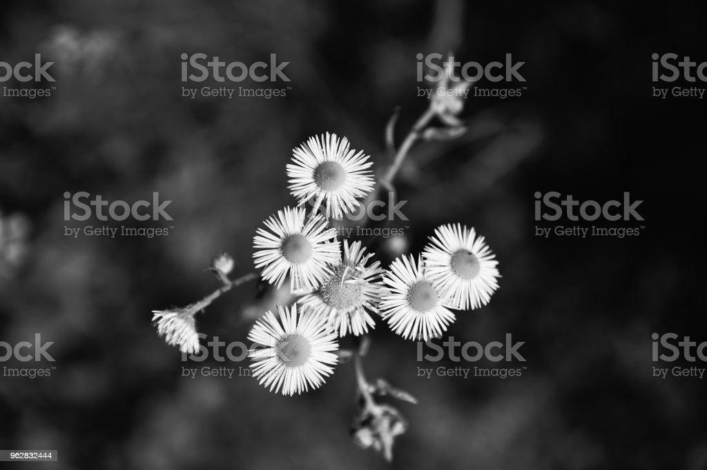 Flower head high angle view black and white - Foto stock royalty-free di Ambientazione esterna