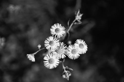 Flower Head High Angle View Black And White - Fotografie stock e altre immagini di Ambientazione esterna