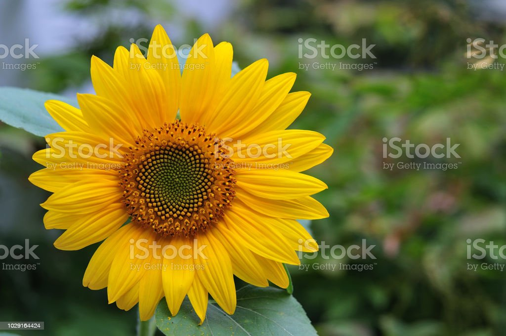 Blütenstand einer Sonnenblume – Foto