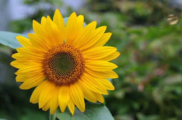 向日葵花頭 - 重複螺旋型 個照片及圖片檔