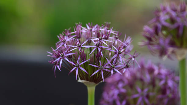 Flower hoofd van Allium Purple Sensation Allium aflatunense in de zomertuin.​​​ foto