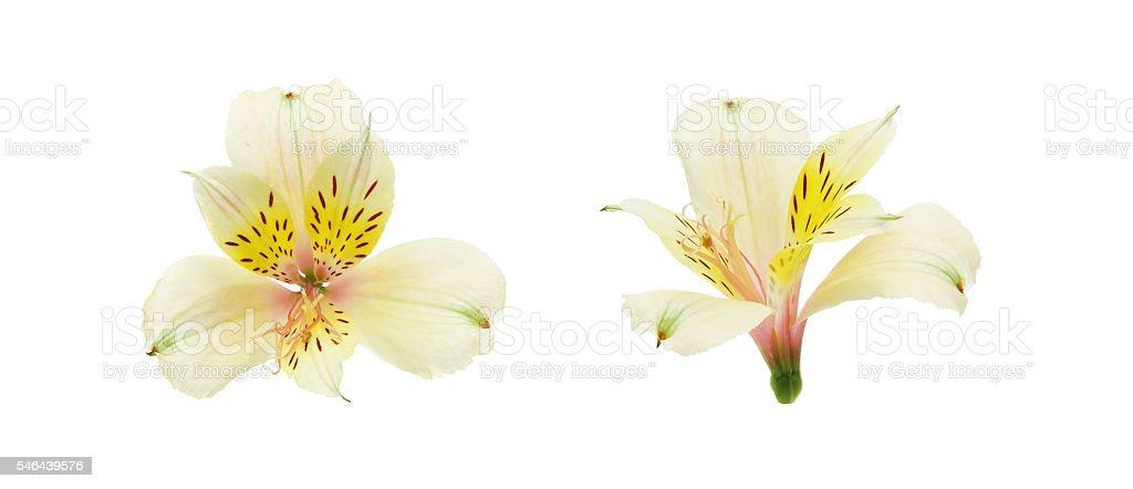 Flower head of Alstroemeria stock photo