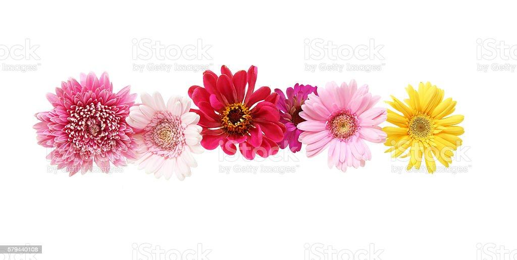 Flower head of the transvaal daisy stock photo